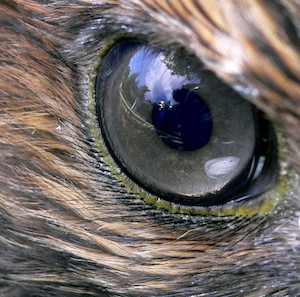 hawk eye, ojo de halcón