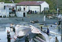 Despiece de ballenas en Islandia
