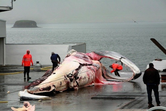 Iceland Resumes Commercial Fin Whaling