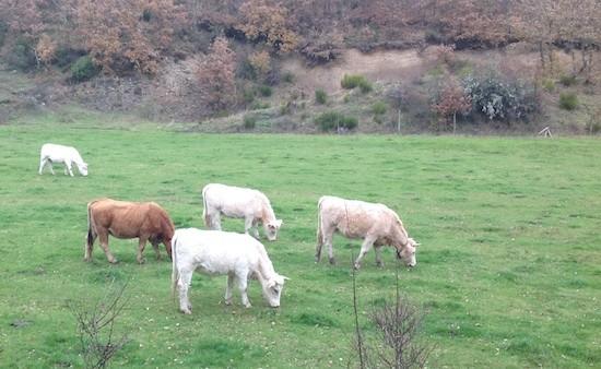 Tosande-vacas