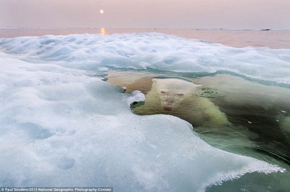 """Oso de hielo"", Gran Premio. Foto: Paul Souders / National Geographic Photography Contest"