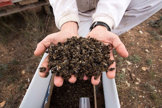 Greenpeace: abejas muertas