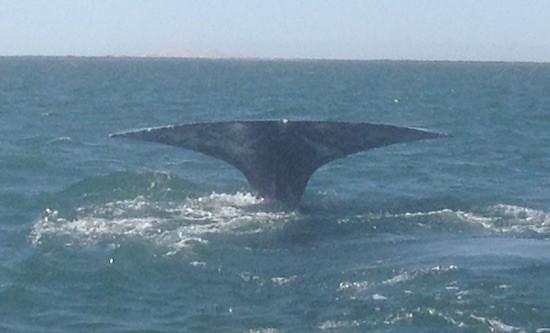 Bancos obligan a proteger la ballena gris