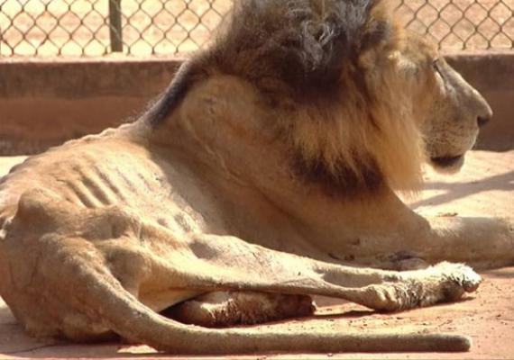 Leo, el leon del zoologico del Zulia en estado de desnutrición