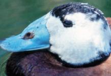 """El singular pico azul de la malvasía e una foto de """"El pato que se hizo andaluz"""""""