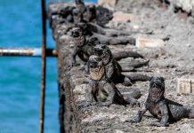 Iguanas negras en Galápagos, Ecuador.