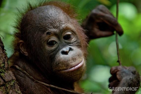 Greenpeace denuncia las amenazas a especies en extinción, como los orangutanes de Indonesia, por la deforestación causada por los productores de aceite de palma para cosmética y alimentación