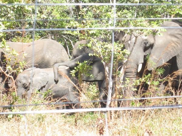 Elefantes en una zona de contención con energía solar en Malawi, que lleva a cabo una importante reubicación de animales entre sus parques de conservación. Crédito: Charles Mkoka / IPS