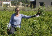 Mondelo: María Luisa en la recogida del pimentón rojo de la Vera